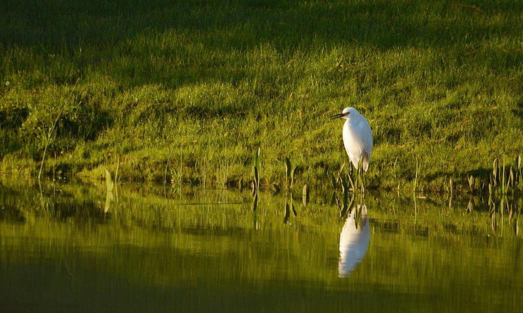 Garcita blanca - Egretta thula