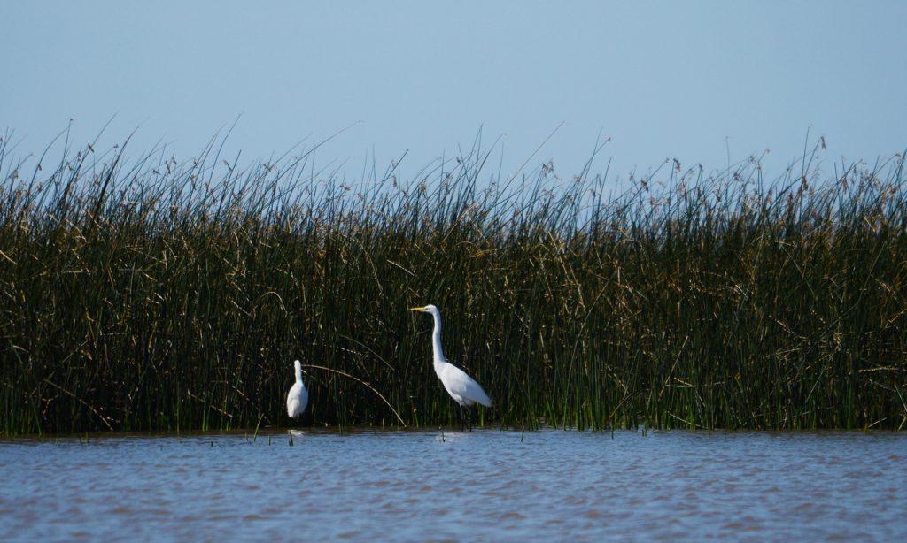 Garcita blanca - Egretta thula y Garza blanca - Ardea alba