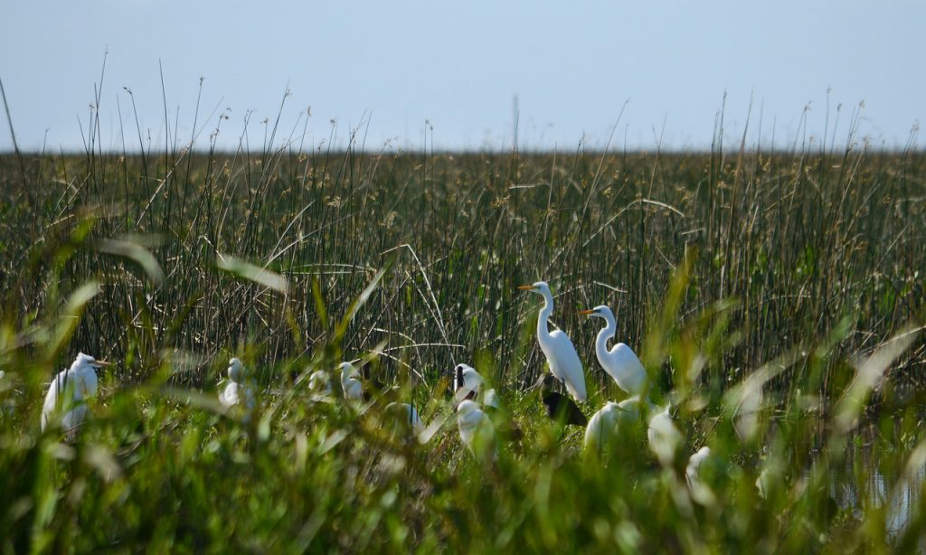 Garza blanca - garcita blanca - cuervillos y patos