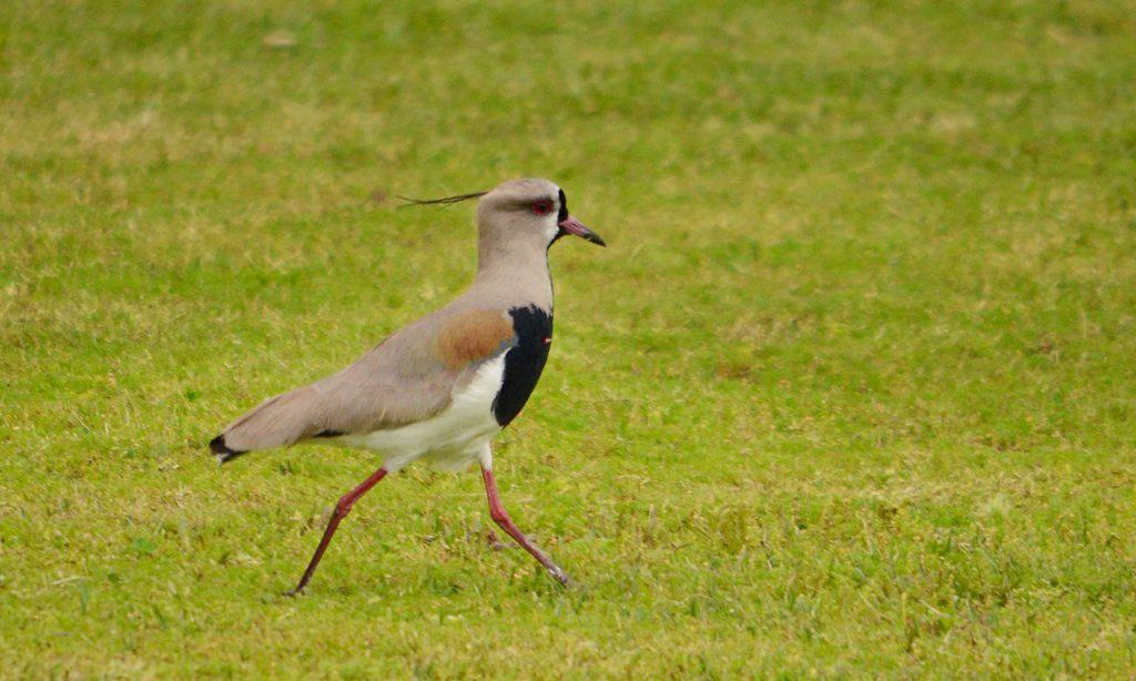 Tero comun - Vanellus chilensis