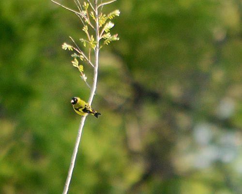 Cabecita negra comun – Spinus magellanicus