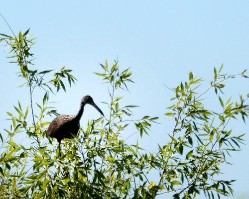 Carau – Aramus guarauna