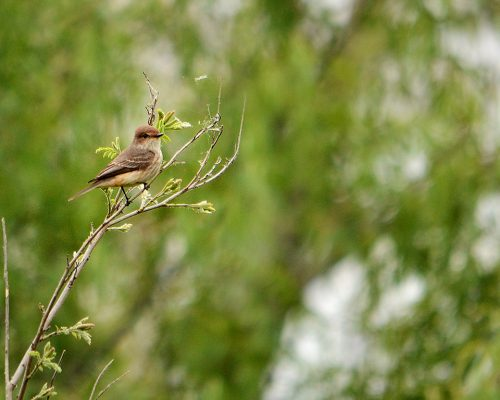 Churrinche macho juvenil – Pyrocephalus rubinus