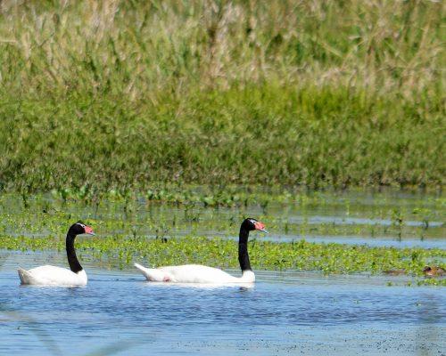 Cisne de cuello negro – Cygnus melancoryphus