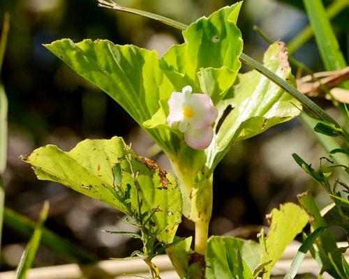 Flor de nacar – Begonia cucullata