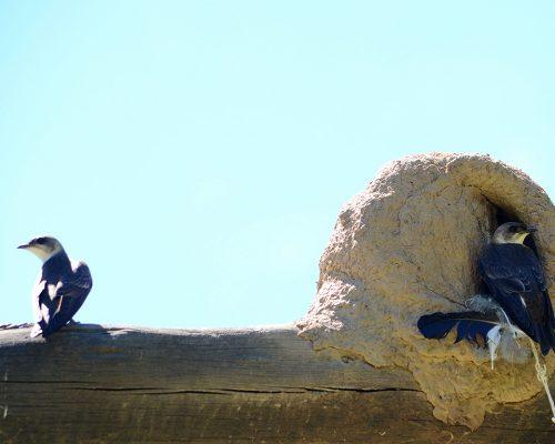 Golondrina domestica – Progne chalybea
