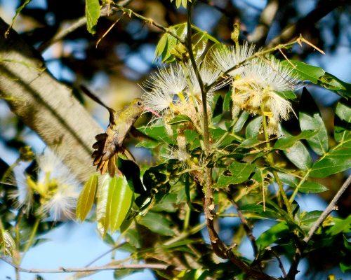 Picaflor bronceado – Hylocharis chrysura