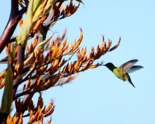 Picaflor comun – Chlorostilbon lucidus