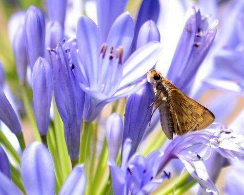 Saltarina amarilla – Hylephila phyleus