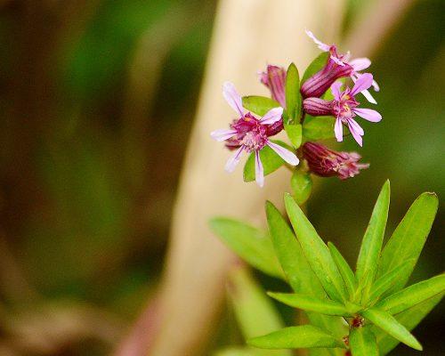 Siete sangrias – Cuphea fruticosa