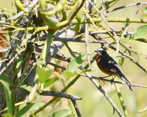 Sietevestidos comun – Poospiza nigrorufa